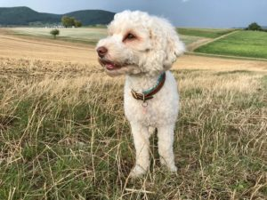 01-labradoodle-welpen-zucht-hundezucht-schweiz-barf-familienhund-allergikerhund