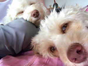 02-labradoodle-welpen-zucht-hundezucht-schweiz-barf-familienhund-allergikerhund