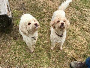 03-labradoodle-welpen-zucht-hundezucht-schweiz-barf-familienhund-allergikerhund