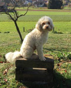 05-labradoodle-welpen-zucht-hundezucht-schweiz-barf-familienhund-allergikerhund