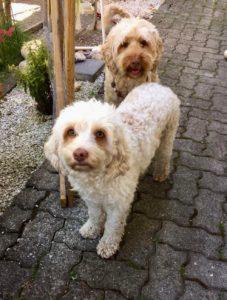 08-labradoodle-welpen-zucht-hundezucht-schweiz-barf-familienhund-allergikerhund
