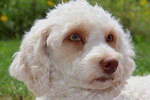 09-labradoodle-welpen-zucht-hundezucht-schweiz-barf-familienhund-allergikerhund