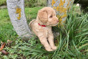 100-labradoodle-welpen-zucht-hundezucht-schweiz-barf-familienhund-allergikerhund