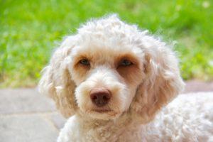11-labradoodle-welpen-zucht-hundezucht-schweiz-barf-familienhund-allergikerhund