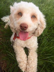 13-labradoodle-welpen-zucht-hundezucht-schweiz-barf-familienhund-allergikerhund