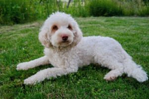 14-labradoodle-welpen-zucht-hundezucht-schweiz-barf-familienhund-allergikerhund