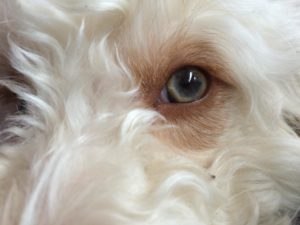17-labradoodle-welpen-zucht-hundezucht-schweiz-barf-familienhund-allergikerhund