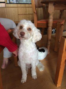 18-labradoodle-welpen-zucht-hundezucht-schweiz-barf-familienhund-allergikerhund