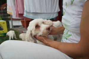20-labradoodle-welpen-zucht-hundezucht-schweiz-barf-familienhund-allergikerhund