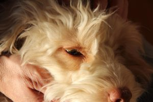 24-labradoodle-welpen-zucht-hundezucht-schweiz-barf-familienhund-allergikerhund