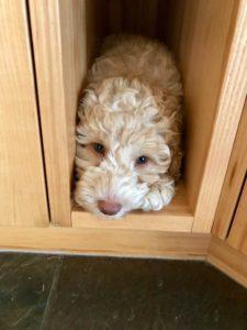 34-labradoodle-welpen-zucht-hundezucht-schweiz-barf-familienhund-allergikerhund