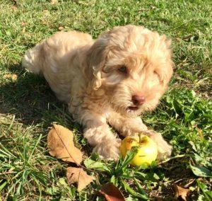 35-labradoodle-welpen-zucht-hundezucht-schweiz-barf-familienhund-allergikerhund