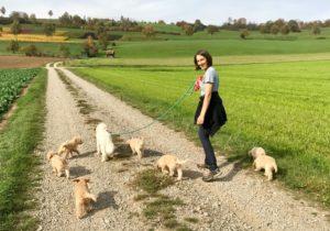 36-labradoodle-welpen-zucht-hundezucht-schweiz-barf-familienhund-allergikerhund