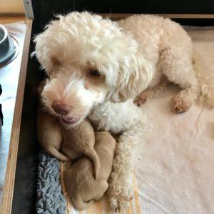 37-labradoodle-welpen-zucht-hundezucht-schweiz-barf-familienhund-allergikerhund