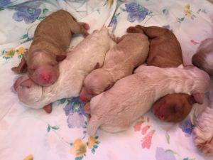 38-labradoodle-welpen-zucht-hundezucht-schweiz-barf-familienhund-allergikerhund