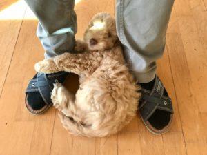39-labradoodle-welpen-zucht-hundezucht-schweiz-barf-familienhund-allergikerhund