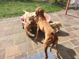 40-labradoodle-welpen-zucht-hundezucht-schweiz-barf-familienhund-allergikerhund