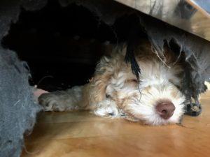 44-labradoodle-welpen-zucht-hundezucht-schweiz-barf-familienhund-allergikerhund