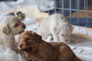 48-labradoodle-welpen-zucht-hundezucht-schweiz-barf-familienhund-allergikerhund