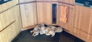 49-labradoodle-welpen-zucht-hundezucht-schweiz-barf-familienhund-allergikerhund