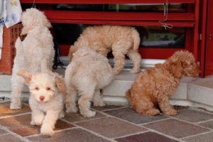 51-labradoodle-welpen-zucht-hundezucht-schweiz-barf-familienhund-allergikerhund