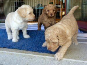52-labradoodle-welpen-zucht-hundezucht-schweiz-barf-familienhund-allergikerhund
