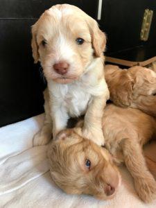55-labradoodle-welpen-zucht-hundezucht-schweiz-barf-familienhund-allergikerhund