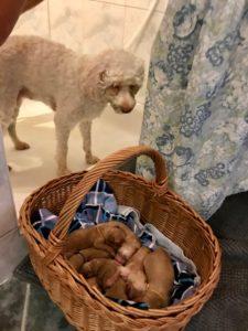 56-labradoodle-welpen-zucht-hundezucht-schweiz-barf-familienhund-allergikerhund