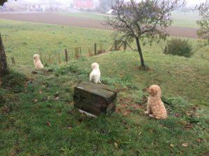 57-labradoodle-welpen-zucht-hundezucht-schweiz-barf-familienhund-allergikerhund