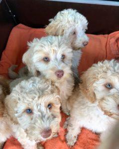 59-labradoodle-welpen-zucht-hundezucht-schweiz-barf-familienhund-allergikerhund