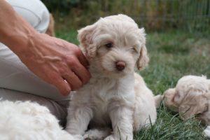 60-labradoodle-welpen-zucht-hundezucht-schweiz-barf-familienhund-allergikerhund