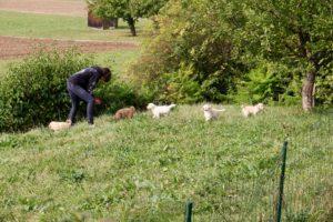 61-labradoodle-welpen-zucht-hundezucht-schweiz-barf-familienhund-allergikerhund