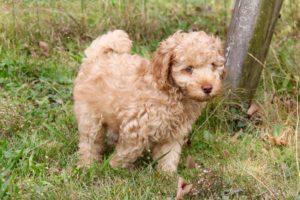 62-labradoodle-welpen-zucht-hundezucht-schweiz-barf-familienhund-allergikerhund