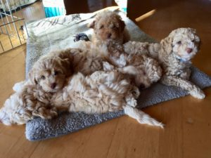 63-labradoodle-welpen-zucht-hundezucht-schweiz-barf-familienhund-allergikerhund