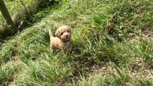 65-labradoodle-welpen-zucht-hundezucht-schweiz-barf-familienhund-allergikerhund