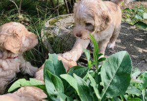 66-labradoodle-welpen-zucht-hundezucht-schweiz-barf-familienhund-allergikerhund