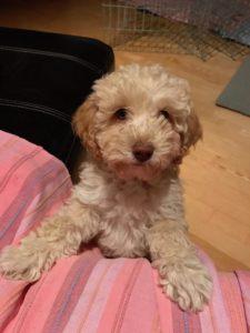 68-labradoodle-welpen-zucht-hundezucht-schweiz-barf-familienhund-allergikerhund