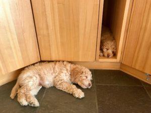 70-labradoodle-welpen-zucht-hundezucht-schweiz-barf-familienhund-allergikerhund