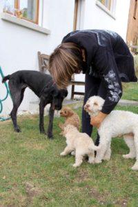 73-labradoodle-welpen-zucht-hundezucht-schweiz-barf-familienhund-allergikerhund