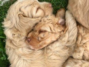 74-labradoodle-welpen-zucht-hundezucht-schweiz-barf-familienhund-allergikerhund