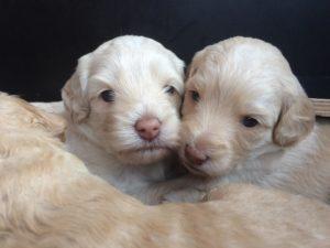 75-labradoodle-welpen-zucht-hundezucht-schweiz-barf-familienhund-allergikerhund