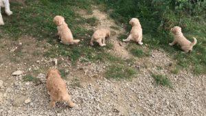 77-labradoodle-welpen-zucht-hundezucht-schweiz-barf-familienhund-allergikerhund