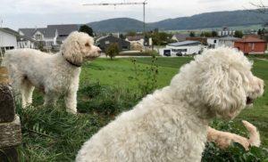 79-labradoodle-welpen-zucht-hundezucht-schweiz-barf-familienhund-allergikerhund