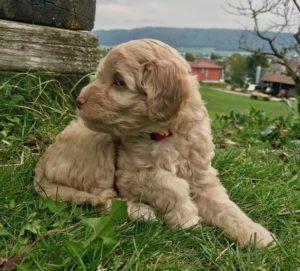 80-labradoodle-welpen-zucht-hundezucht-schweiz-barf-familienhund-allergikerhund