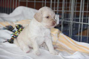 81-labradoodle-welpen-zucht-hundezucht-schweiz-barf-familienhund-allergikerhund