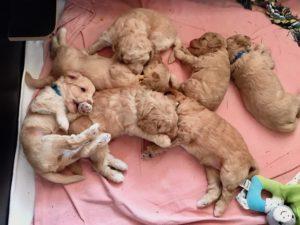 85-labradoodle-welpen-zucht-hundezucht-schweiz-barf-familienhund-allergikerhund