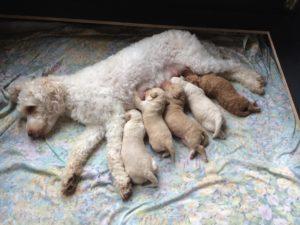 86-labradoodle-welpen-zucht-hundezucht-schweiz-barf-familienhund-allergikerhund