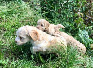 88-labradoodle-welpen-zucht-hundezucht-schweiz-barf-familienhund-allergikerhund