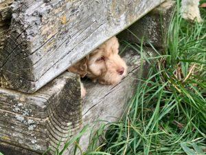 89-labradoodle-welpen-zucht-hundezucht-schweiz-barf-familienhund-allergikerhund