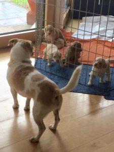 90-labradoodle-welpen-zucht-hundezucht-schweiz-barf-familienhund-allergikerhund